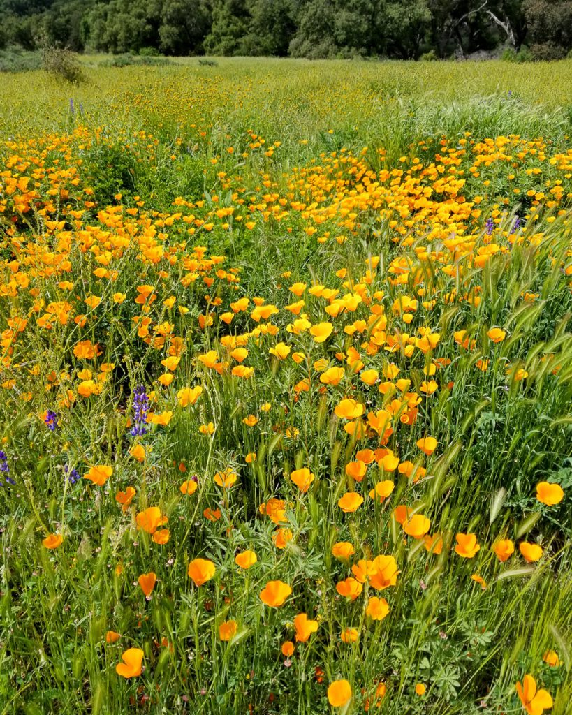 Poppies in Limestone Canyon