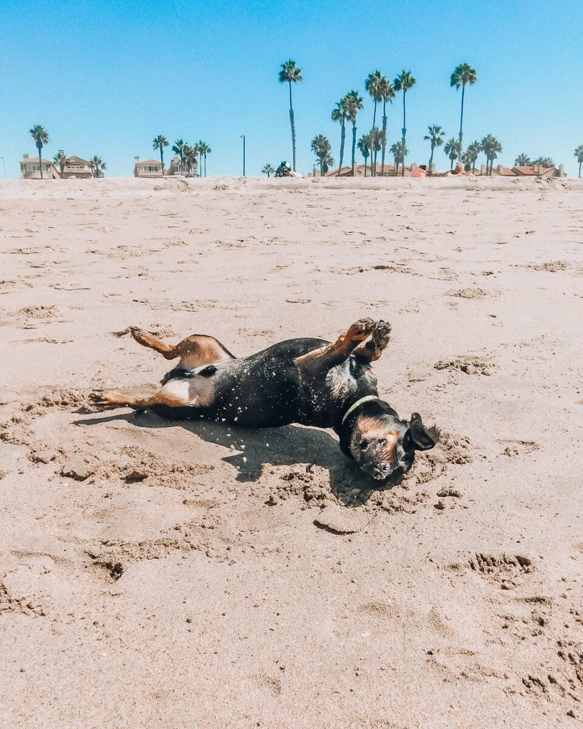 Dog playing in the sand at Huntington Dog Beach