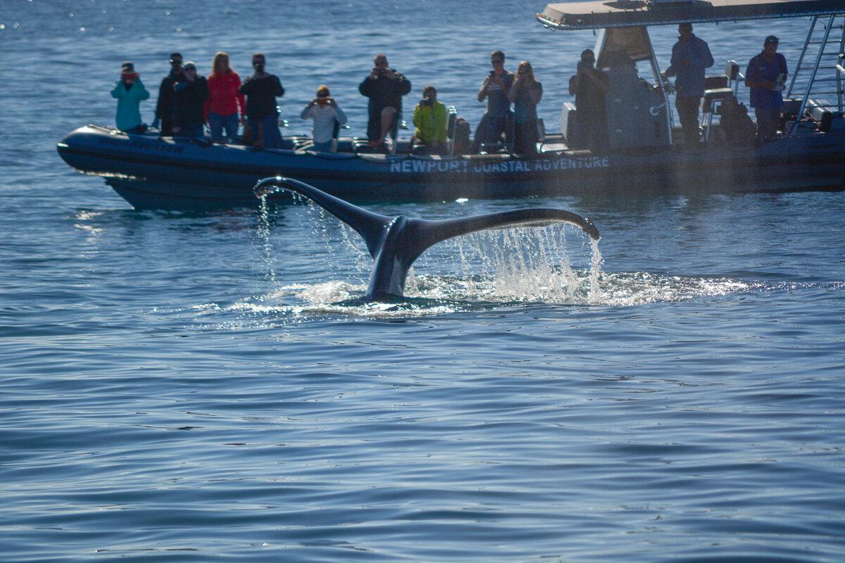 Whale watching in Newport Beach