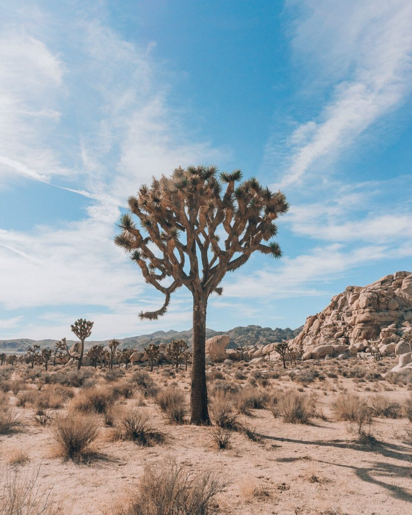 A large Joshua tree in Joshua Tree National Park